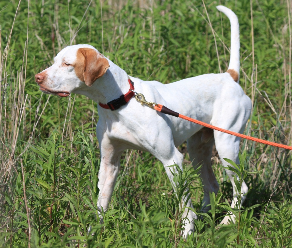 Dog Ready For Adoption German Shorthaired Pointer Boxer Mixed | Dog ...